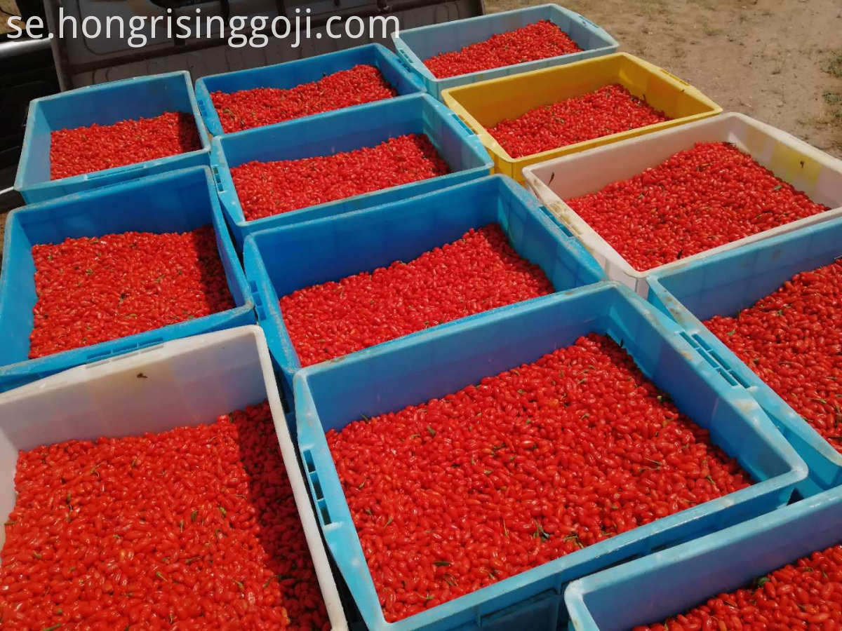 bulk fresh goji berry 3